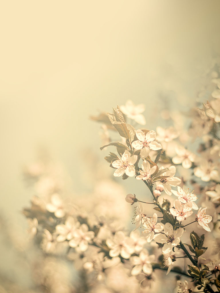 Background image cherry blossoms